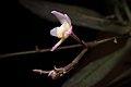 Thrixspermum saruwatarii (Hayata) Schltr., Repert. Spec. Nov. Regni Veg. Beih. 4 275 (1919) (40684023242).jpg
