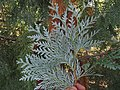 Thuja koraiensis foliage 2.JPG