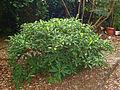 Thymelaeaceae - Edgeworthia papyrifera.JPG