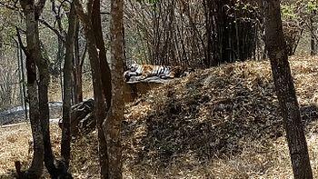 Tiger Lying.jpg