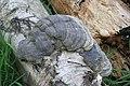 Tinder Fungus or Hoof Fungus, Fomes fomentarius - geograph.org.uk - 1334879.jpg
