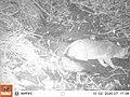 Tomales Point Water Sources- Wildlife Monitoring Camera- Gray Fox - October 2, 2020, 7-17 am (b7e93379-b93a-46ed-a813-ae2ba471aa66).jpg