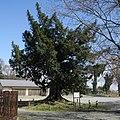 Torreya nucifera at Ebise, Itakura, Gunma.jpg
