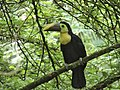 Toucan- Costa Rica.jpg