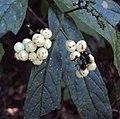 Tournefortia heyneana 11.JPG