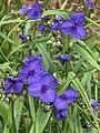 Tradescantia × andersoniana - 20050708.jpg