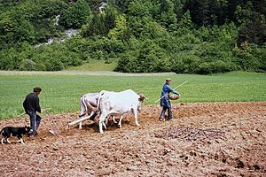 Lourdaise - A pair of cows working in the Pyrénées in the 1970s