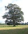 Tree in field at Tonn, Llandovery - geograph.org.uk - 529669.jpg