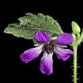 Tremandra stelligera - Flickr - Kevin Thiele.jpg