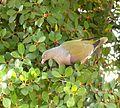 Treron calvus glaucus, in vyeboom, i, Pretoria.jpg