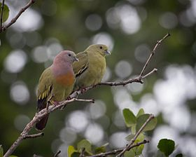Treron vernans -Tongkoko, North Sulawesi, Indonesia -pair-8.jpg