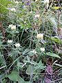 Trifolium ochroleucon sl1.jpg
