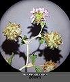 Trifolium suaveolens sl13.jpg