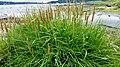 Triglochin maritimum plant (40).jpg