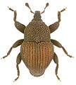 Trigonopterus constrictus holotype - ZooKeys-280-001-g016.jpg
