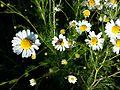 Tripleurospermum inodorum sl10.jpg