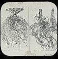 Tuberculated roots of red clover and soy bean (23104190502).jpg