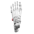 Tuberosity of left fifth metatarsal bone 02 superior view.png
