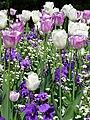 Tulpen und Stiefmütterchen.JPG