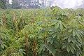 Tumpang sari singkong dan jagung.jpg