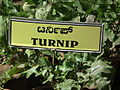 Turnip plant from lalbagh 2337.JPG