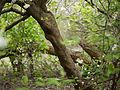 Turraea villosa (7432521636).jpg