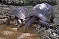 Turtles drinking water, Barbados (7016722321).jpg