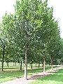 Ulmus 'Lobel' Bruns nurseries Bad Zwischenahn 2010.08.07.JPG