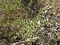 Unidentified desert plant (48338282251).jpg