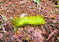 Unknown Venomous Caterpillar.jpg
