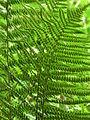 Unterseite Dryopteris filix-mas.JPG