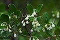 Vaccinium arboreum Bibb Glades.jpg