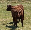 Vaches salers.jpg
