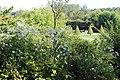 Valloires Abbey, botanical garden, Anemone hupehensis.JPG