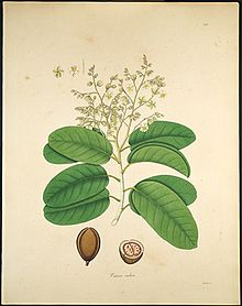 Vateria indica, Illustration.
