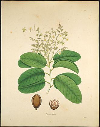 Vateria - Vateria indica
