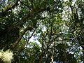 Vegetación de la Reserva de la Biosfera La Amistad Panama (RBLAP) 33.JPG