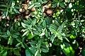 Veronica glaucophylla in Christchurch Botanic Gardens 02.jpg