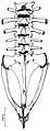 Vertebral column of male Osornophryne simpsoni - ZooKeys-108-073-g006.jpg