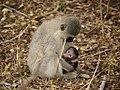 Vervet Monkey (6290933432).jpg