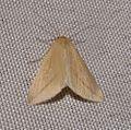 Vestal. Rhodometra sacraria. Geometridae » Sterrhinae - Flickr - gailhampshire (1).jpg
