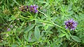 Vetch by the roadside - geograph.org.uk - 931564.jpg