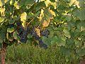 Vignoble du cahors 2011 08 08 004.jpg