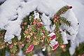 Vintervårtrær cones kongler 01.jpg