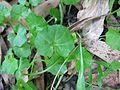 Viola banksii leaf4 - Flickr - Macleay Grass Man.jpg