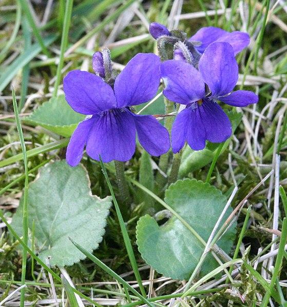 Ficheiro:Viola odorata Garden 060402Aw.jpg
