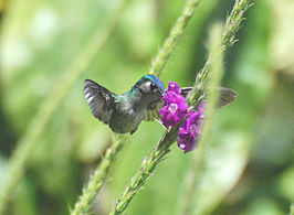 Violet-headed Hummingbird.jpg