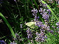 Violet flowers 2007 and a green butterfly.JPG