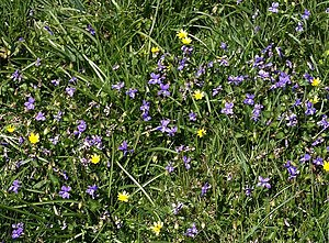 English: Violets by the coast path This year s...