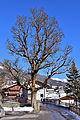 Virgen - Naturdenkmal ND 7 54 - Bergahorn unterhalb Widum.jpg